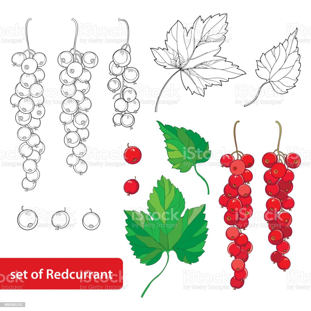 Set with Red currant, bunch, berry and leaves in black and red isolated on white background. vector art illustration