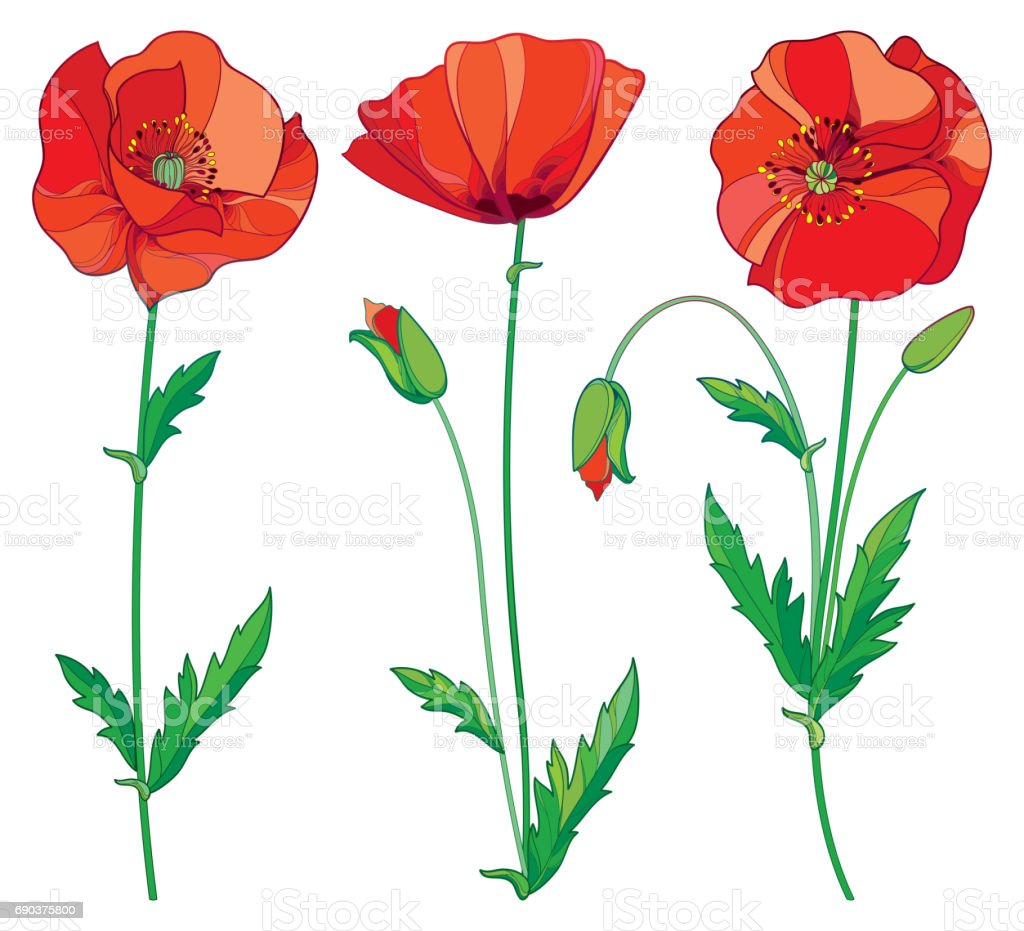 Vector Set With Outline Red Poppy Flower Bud And Green Leaves