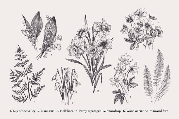Set with spring flowers. Set with early spring flowers. Vector botanical illustration. Black and white. daffodil stock illustrations