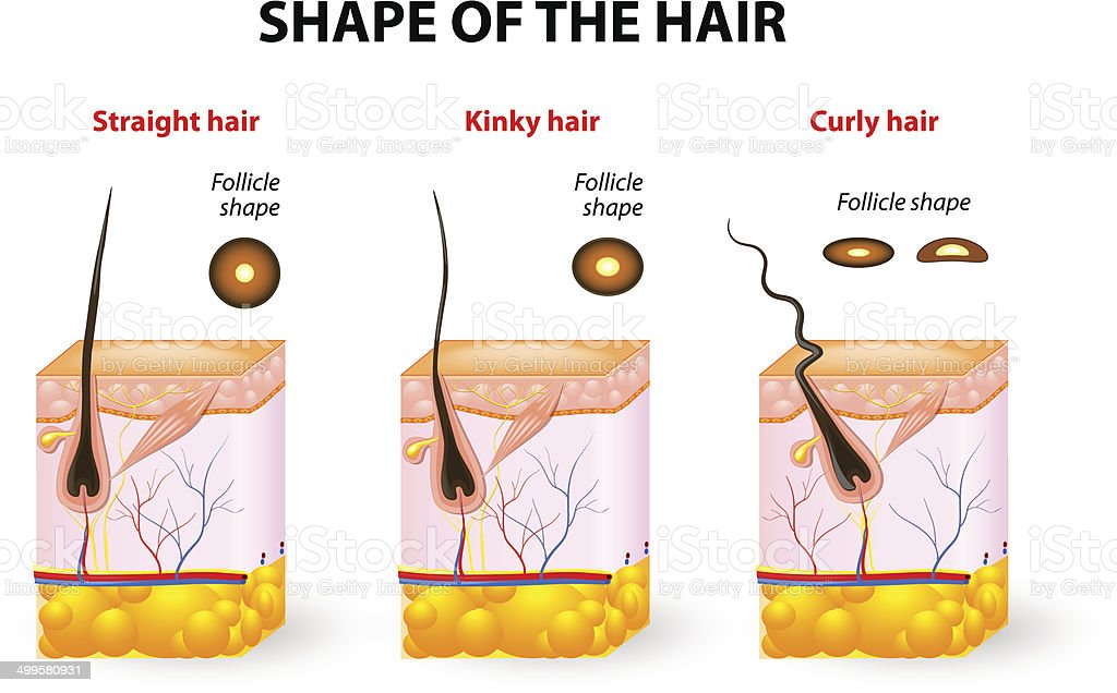Shape Of The Hair And Hair Anatomy Stock Vector Art More Images Of