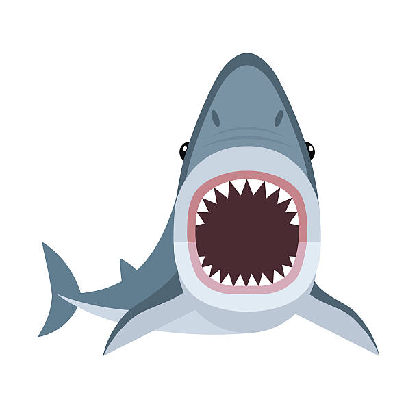 Shark attack Vector illustration of shark with open mouth full of sharp teeth, isolated on a white background. Shark attacks. great white shark stock illustrations