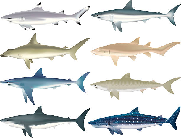 Shark Species Illustrations of multiple shark species. File is organized into layers. great white shark stock illustrations