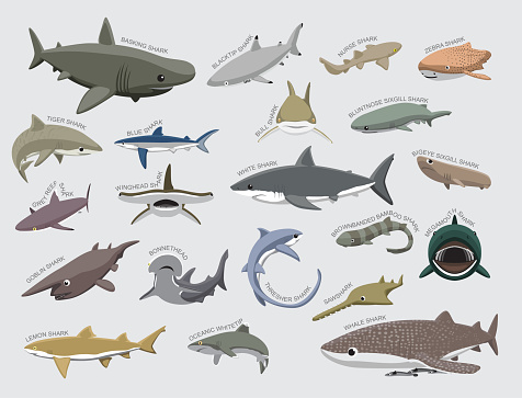 Shark Various Kind Identify Cartoon Vector