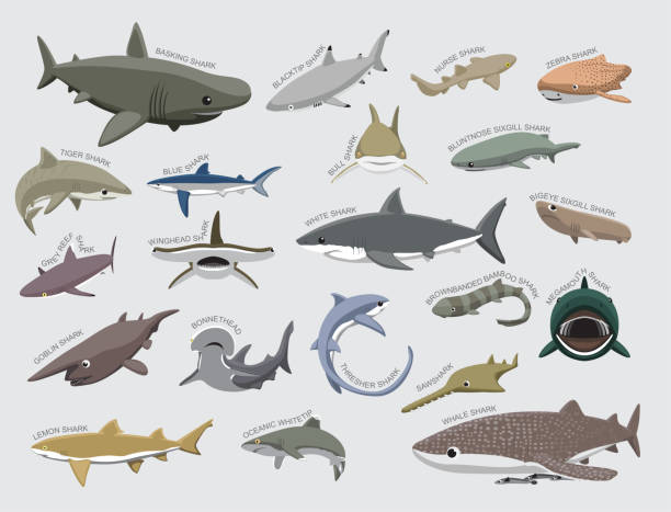 Shark Various Kind Identify Cartoon Vector Animal Character EPS10 File Format great white shark stock illustrations