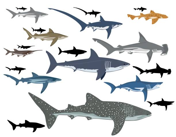 shark collage of different types of sharks great white shark stock illustrations