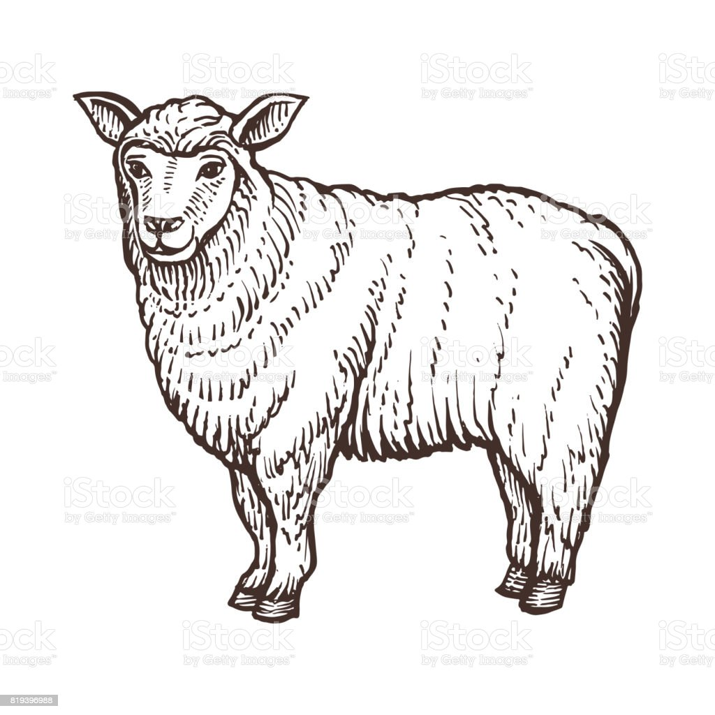 Moutons de la ferme esquisse animaux, mammifères de mouton isolé sur fond blanc. Style vintage - Illustration vectorielle