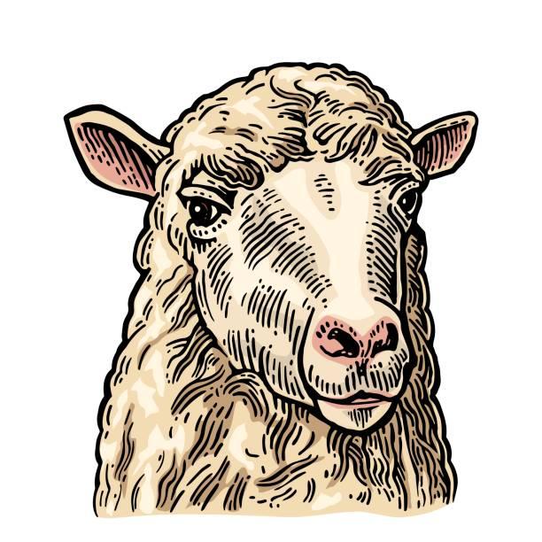 Tête de mouton. Dessinés dans un style graphique à la main. Vintage vector illustration graphique d'informations, affiches, web de gravure. Isolé sur fond blanc. - Illustration vectorielle