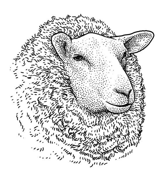 stockillustraties, clipart, cartoons en iconen met schapen hoofd portret illustratie, tekening, gravure, inkt, zeer fijne tekeningen, vector - schaap