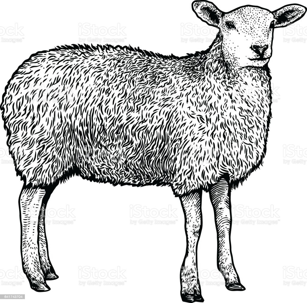 Line Drawing Images Of Sheep : Sheep illustration drawing engraving line art realistic