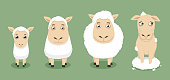 Sheep growth until shaved vector illustration. With baby sheep, young sheep, adult sheep, shaved sheep.