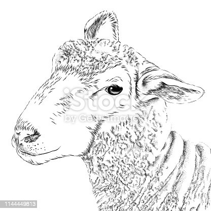 Sheep Vector Illustration in Engraving Style