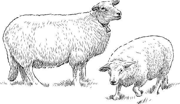 Best Sheeps Illustrations, Royalty-Free Vector Graphics