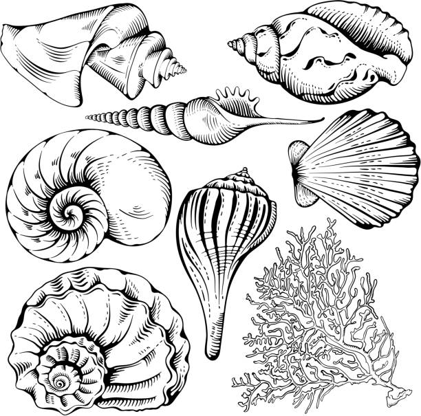 stockillustraties, clipart, cartoons en iconen met shell set - zeeschelp