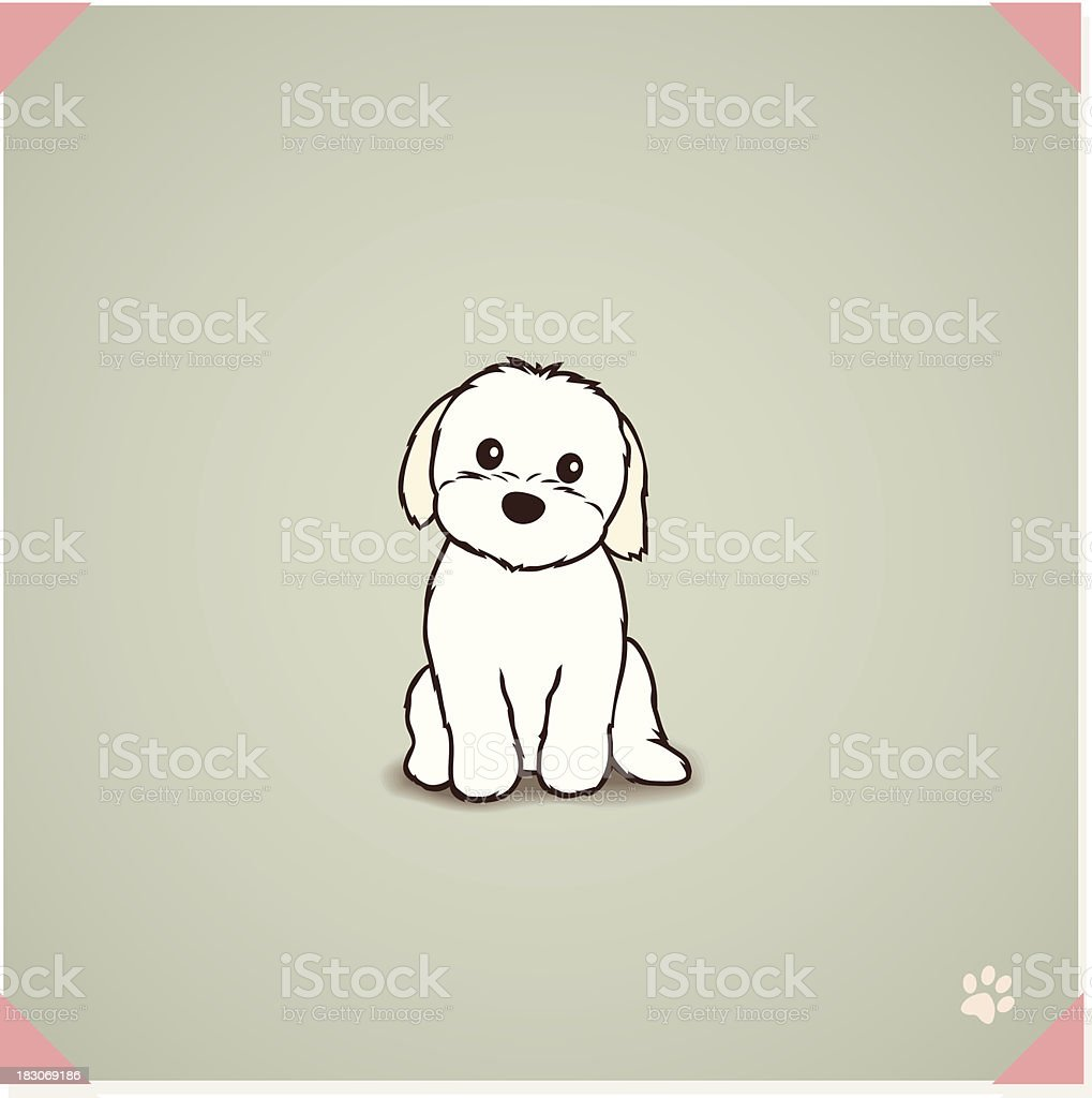 Shih Tzu Maltese Mix Puppy