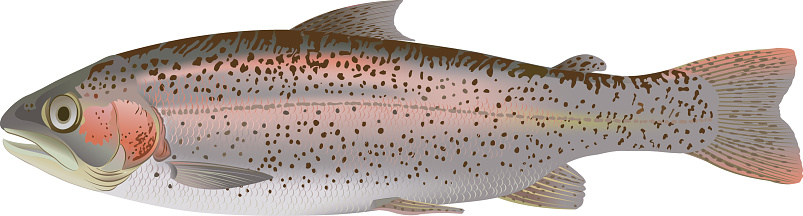 A shiny and speckled rainbow trout on a white background