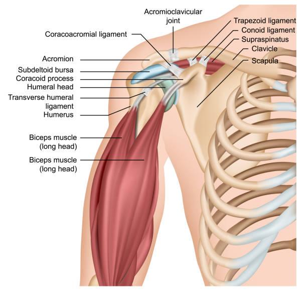 bildbanksillustrationer, clip art samt tecknat material och ikoner med skuldra anatomi 3d medicinsk vektor illustration med arm muskler - lem kroppsdel