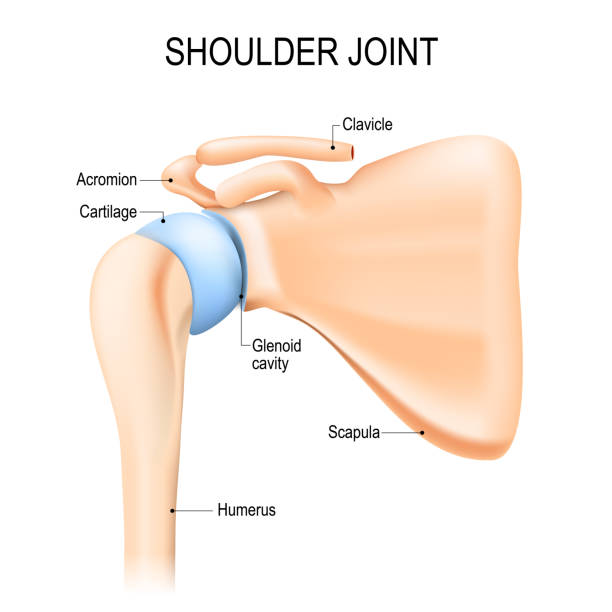 shoulder joint Shoulder joint tendons are thick fibrous cords that attach muscles to bone overuse or strain on a joint can irritate tendons and result in tendinitis.