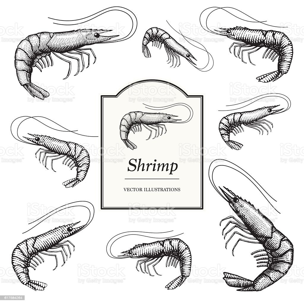 Shrimp (Prawn) Illustrations vector art illustration