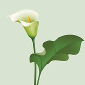 Flower Calla lilies and green leaf.