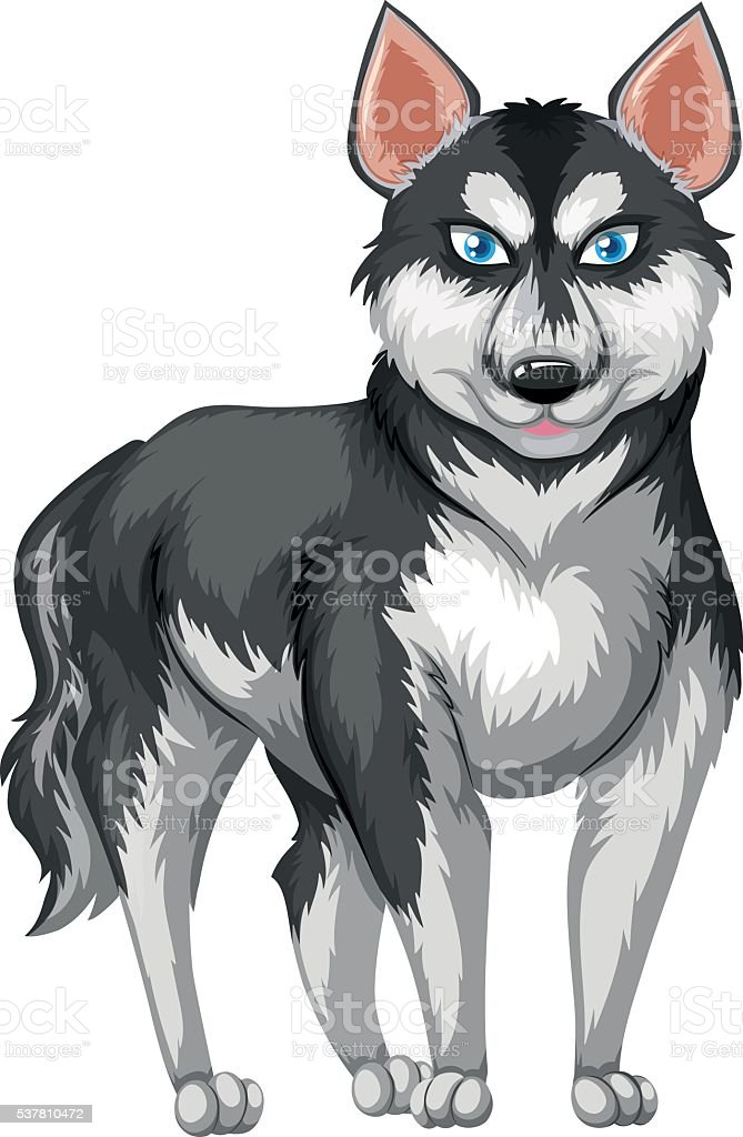 Siberian husky with black and white fur vector art illustration