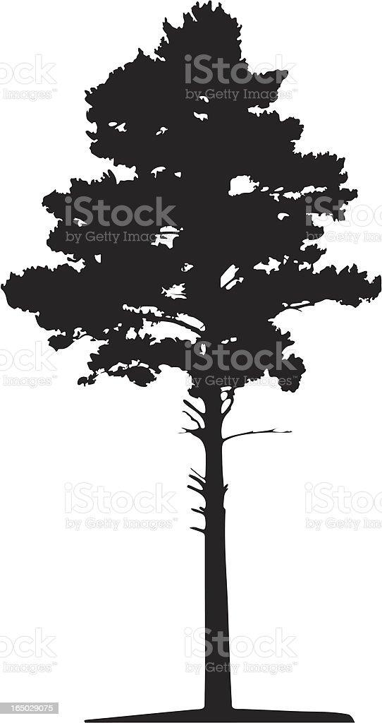 Siberian pine tree, Vector vector art illustration