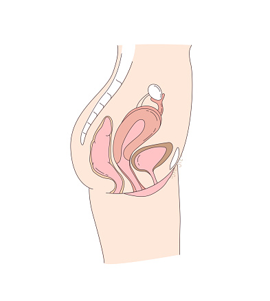 Side on view of the female reproductive and urinary system
