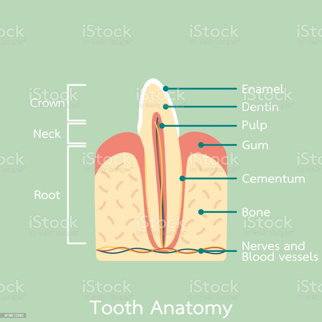 Side View Of Incisor Tooth Anatomy Structure Including The Bone And ...