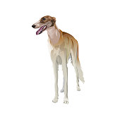 Sighthound dog vector
