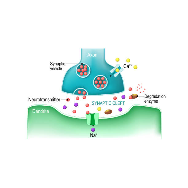 Signal transmission at a chemical synapse Signal transmission at a chemical synapse. one neuron releases neurotransmitter molecules into a synaptic cleft that is adjacent to another neuron. neurotransmitter stock illustrations