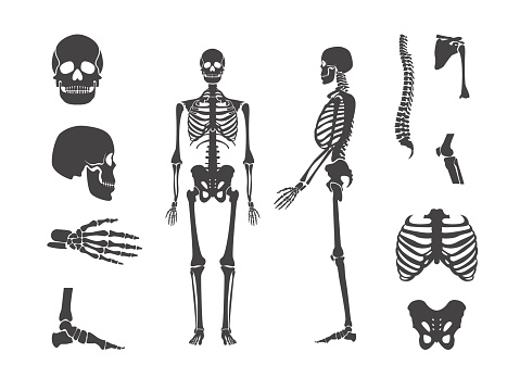 Silhouette Black Human Skeleton and Part Set. Vector