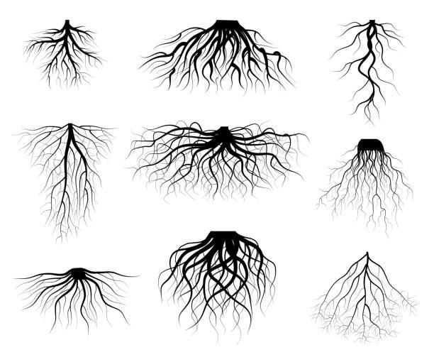 illustrazioni stock, clip art, cartoni animati e icone di tendenza di silhouette black tree roots various types shapes set. vector - radice