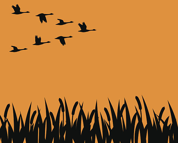 Silhouette geese and marsh A flock of geese in formation fly over a marsh in silhouette. goose bird stock illustrations