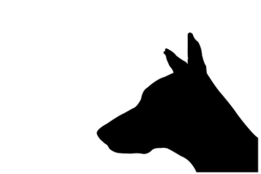 Silhouette of a Doberman puppy on a white background. Dog's head with ears protruding upward.