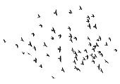 silhouette of a flock of flying birds.