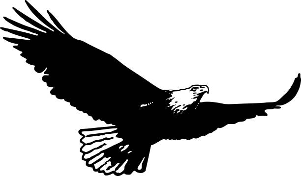 Silhouette of Bald eagle flying flying and hunting vector art illustration