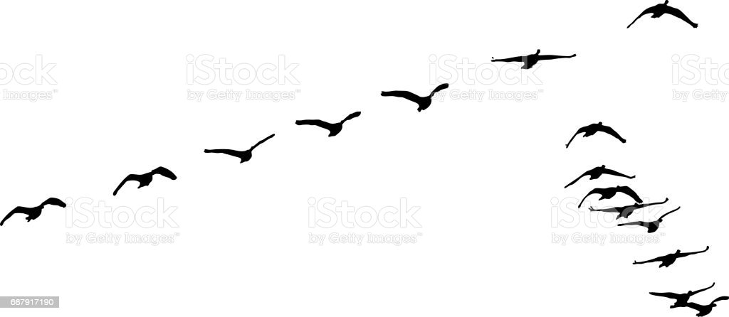 Silhouette of flock of Canada Geese flying in formation vector art illustration