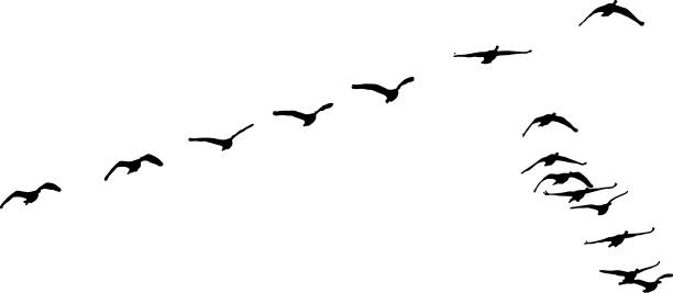 Silhouette of flock of Canada Geese flying in formation Silhouette of flock of Canada Geese flying in formation canada goose stock illustrations