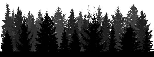 Silhouette of forest (fir trees, spruce) on white background. Vector illustration. Silhouette of forest (fir trees, spruce) on white background. Vector illustration. black white snow scene silhouette stock illustrations