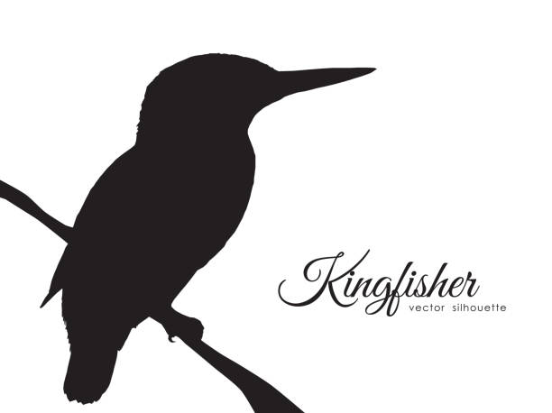 Silhouette of Kingfisher sitting on a dry branch. Vector illustration: Silhouette of Kingfisher sitting on a dry branch. kingfisher stock illustrations