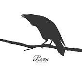 Silhouette of Raven sitting on branch on white background.
