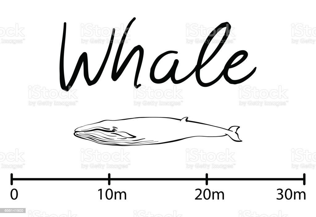 Silhouette of whale,blue whale isolated black and white vector vector art illustration