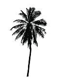 silhouette realistic coconut tree, isolated natural palm plant sign, vector illustration