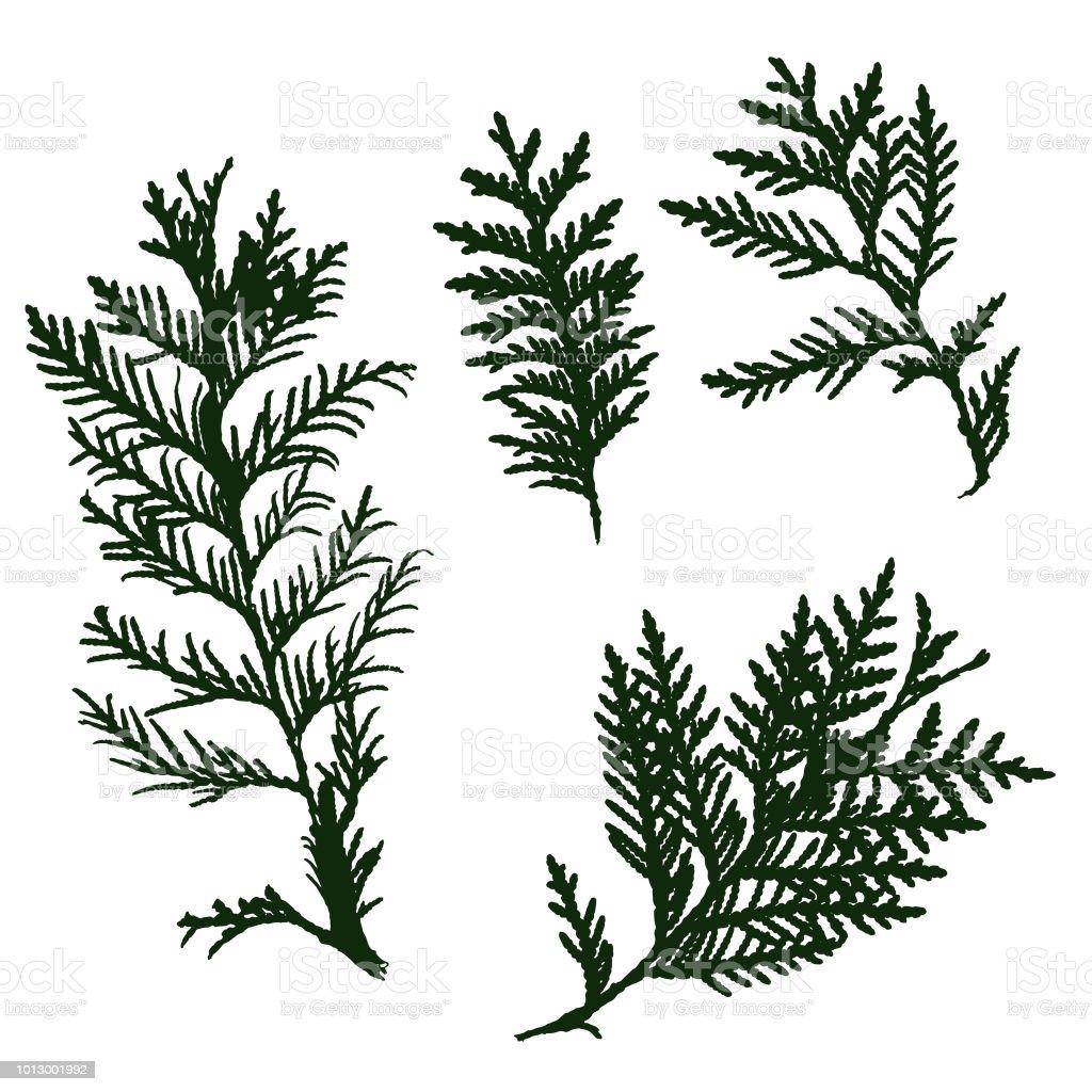 Silhouette thuja leaf, isolated. - illustrazione arte vettoriale