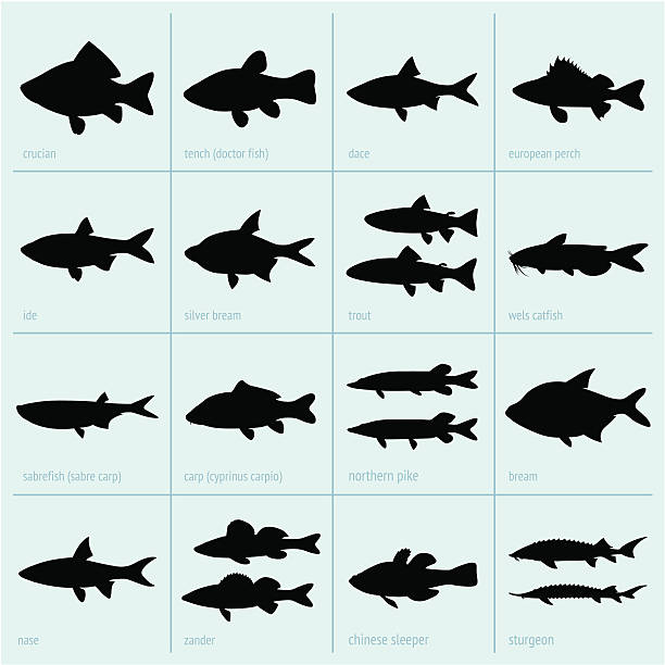Silhouettes of fresh water fish This image is a vector illustration and can be scaled to any size without loss of resolution, can be variated and used for different compositions. This image is an .eps file and you will need a vector editor to use this file, such as Adobe Illustrator. freshwater fish stock illustrations