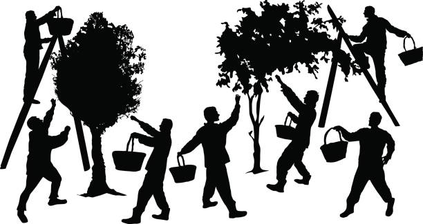 ilustrações de stock, clip art, desenhos animados e ícones de silhouettes of people harvesting fruit with baskets - picking fruit