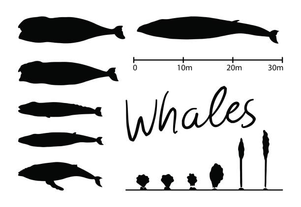 Silhouettes of whale,blue whale isolated black and white vector vector art illustration