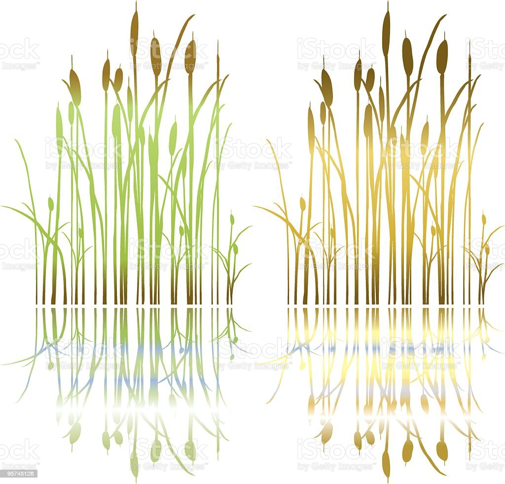 Simple Drawn Marsh Cattails Plant In Spring And Fall ...
