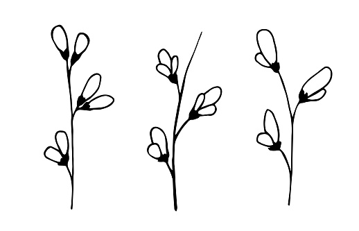 Simple hand-drawn vector drawing in black outline. Genista twigs set. Delicate spring flowers. Blooming bush, branches. For decoration, seasonal festive designs. Natural yellow dye.
