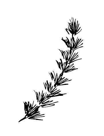 Simple hand-drawn vector drawing in black outline. Young larch tree twig, branch isolated on white background. Coniferous branch.