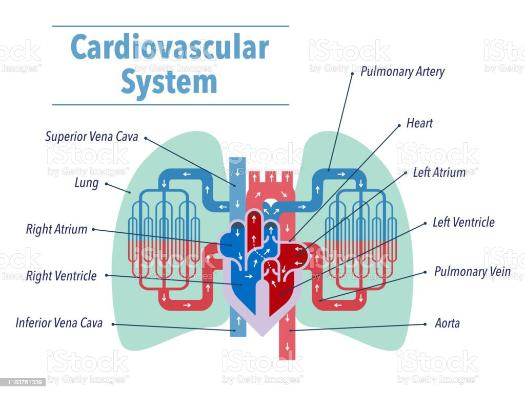 A Simple Illustration Of The Cardiovascular System Focusing